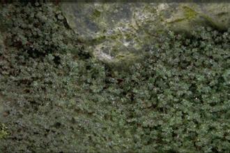 Vrouwenmantel - Alchemilla ellenbeckii