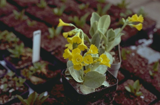 Hemelsleutel - Primula auricula