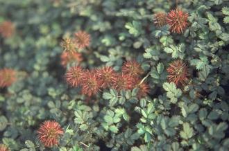 Stekelnootje - Acaena microphylla 'Kupferteppich'
