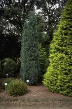 Californische cipres - Chamaecyparis lawsoniana 'Grayswood Pillar'
