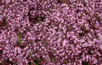 Wilde tijm - Thymus serpyllum 'Pink Chintz'