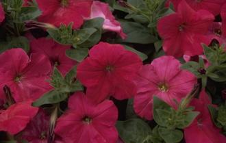 Petunia 'Polo Rose'