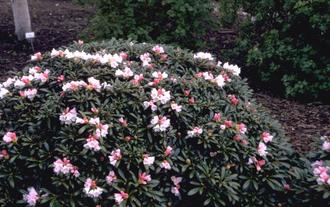 Rododendron - Rhododendron yakushimanum 'Bambi'