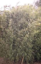 Bamboe - Fargesia nitida 'Great Wall'