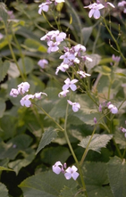 Wilde judaspenning - Lunaria rediviva
