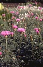 Korenbloem - Centaurea pulcherrima