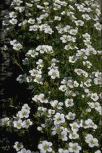 Steenbreek - Saxifraga 'Schneeteppich'