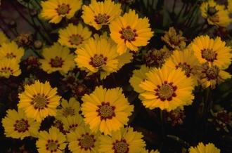 Meisjesogen - Coreopsis lanceolata 'Walter'