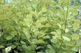 Pruikenboom - Cotinus coggygria 'Golden Spirit'