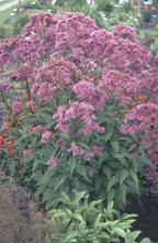 Koninginnenkruid - Eupatorium maculatum 'Purple Bush'