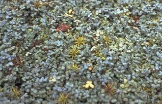 Stekelnootje - Acaena magellanica