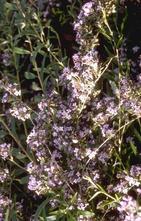 Vlinderstruik - Buddleja alternifolia