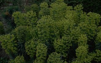 Wolfsmelk - Euphorbia characias subsp. wulfenii