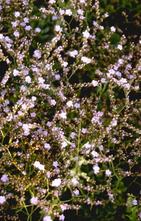 Lamsoor - Limonium gougetianum