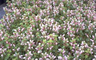 Gevlekte dovenetel - Lamium maculatum 'Shell Pink'