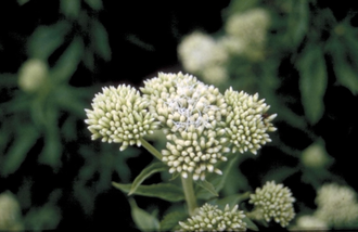 Koninginnekruid - Eupatorium cannabium 'Album Plenum'
