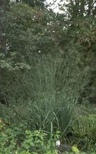 Pijpestrootje - Molinia caerulea 'Transparent'