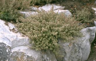 Citroentijm - Thymus x citriodorus 'Silver Queen'