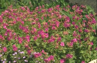 Ooievaarsbek - Geranium macrorrhizum 'Bevan's Variety'