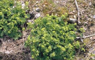 Spitslobbige Vrouwenmantel - Alchemilla vulgaris