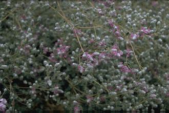 Marjolein - Origanum microphyllum