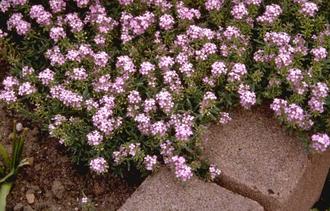 Aethionema - Aethionema armenum 'Warley Rose'