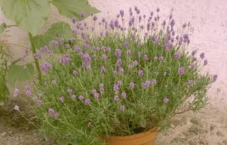 Gewone lavendel - Lavandula angustifolia 'Dwarf Blue'