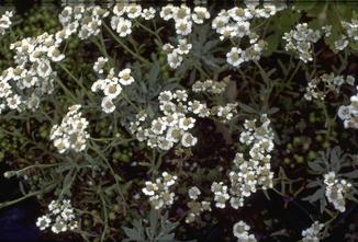Duizendblad - Achillea clavennae subsp. integrifolia