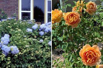 Borderplan Famke - Borderpakket bloeiende heesters - Roos & Hortensia - Halfschaduw & Zon - Vanaf 1 m2