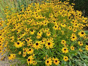 Gele Zonnehoed - Rudbeckia