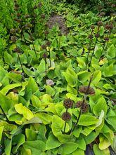Brandkruid - Phlomis tuberosa 'Amazone'