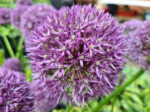 Reuzenlook - Allium giganteum
