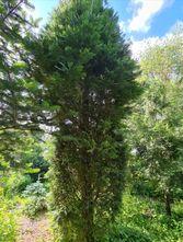 Zuilcipres - Calocedrus decurrens 'Aureovariegata'