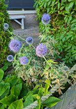 Kogeldistel - Echinops ritro 'Veitch Blue'