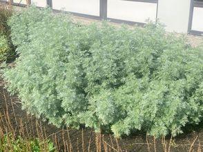 Alsem - Artemisia schmidtiana 'Nana'