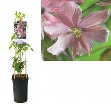 Bosrank - Clematis montana 'Fragrant Spring'