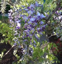 Blauweregen - Wisteria floribunda 'Domino'