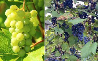 Borderpakket Bram - Borderpakket pergola - Eetbare klimplanten druiven - set van 4