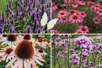 Borderplan Fenne - Vaste planten borderpakket - Vlindertuin - Paars & Roze - Zon