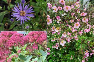 Borderplan Hanna - Vaste planten borderpakket - Laatbloeiende tuinplanten - Roze - najaarsbloeiers borderpakket