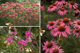 Borderplan Lieke - Vaste planten borderpakket - Bijen - Bijvriendelijke tuinplanten - Roze - Zon