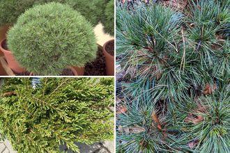Borderplan Naomi - Borderpakket Pinus heesters strandtuin - Halfschaduw & Zon - vanaf 3m2