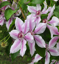 Bosrank - Clematis 'Nelly Moser'
