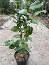 Camelia - Camellia japonica 'Dr. King'
