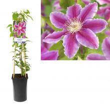 Bosrank - Clematis 'Dr Ruppel'
