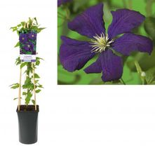Bosrank - Clematis 'Etoile Violette'