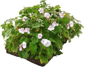 Geranium cantabrigiense bordermatten - halfschaduw/schaduw - 57 x 38