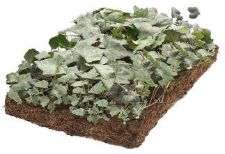 Klimop - Hedera plantenmat bordermatten - Schaduw, Halfschaduw & Zon - 57 x 38
