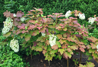 Eikenbladhortensia - Hydrangea quercifolia