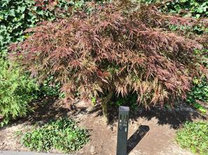 Japanse Esdoorn - Acer palmatum 'Garnet'
